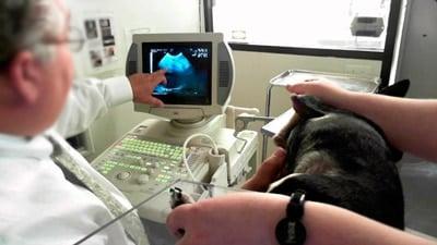 IBD en perros