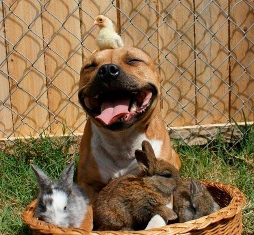 pitbull con animales