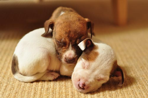 cachorros-pitbull