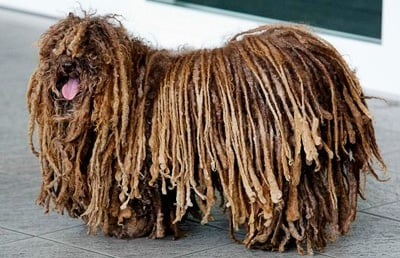 perro rastafari