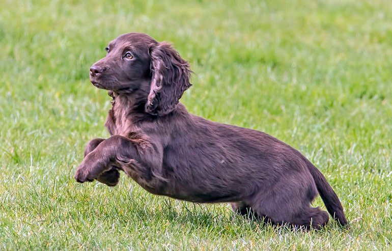 "Cocker-Spaniel-English-running ""width ="" 770 ""height ="" 493 ""srcset ="" https://soyunperro.com/wp-content/uploads/2014/07/Cocker-Spaniel-Inglés-corriendend.jpg 770w, https://soyunperro.com/wp-content/uploads/2014/07/Cocker-Spaniel-Inglés-corriendo-300x192.jpg 300w, https://soyunperro.com/wp-content/uploads/2014/07/Cocker -Spaniel-English-running-768x492.jpg 768w, https://soyunperro.com/wp-content/uploads/2014/07/Cocker-Spaniel-Inglés-Corriendo-696x446.jpg 696w, https://soyunperro.com /wp-content/uploads/2014/07/Cocker-Spaniel-Inglés-corrando-656x420.jpg 656w ""values ​​="" (max-width: 770px) 100vw, 770px"
