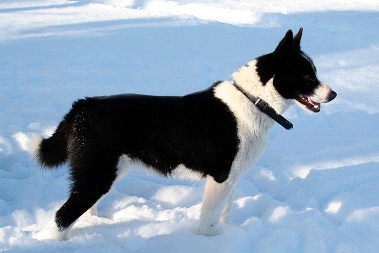 "Karjalankarhukoira-in-the-snow ""width ="" 770 ""height ="" 515 ""srcset ="" https://soyunperro.com/wp-content/uploads/2014/07/Karjalankarhukoira-en-la-nieve.jpg 770w, https://soyunperro.com/wp-content/uploads/2014/07/Karjalankarhukoira-en-la-nieve-300x201.jpg 300w, https://soyunperro.com/wp-content/uploads/2014/07/Karjalankarhukoira -en-la-nieve-768x514.jpg 768w, https://soyunperro.com/wp-content/uploads/2014/07/Karjalankarhukoira-en-la-nieve-696x466.jpg 696w, https://soyunperro.com /wp-content/uploads/2014/07/Karjalankarhukoira-en-la-nieve-628x420.jpg 628w ""values ="" (max-width: 770px) 100vw, 770px"