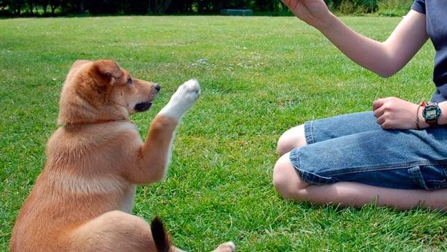 Cómo Adiestrar Un Perro Explicado Paso A Paso