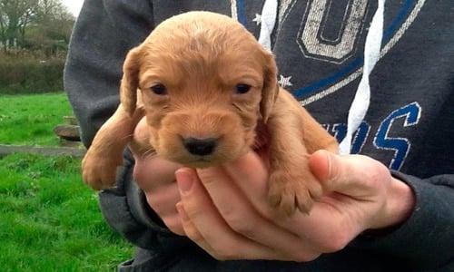 cachorro recien nacido cocker spaniel