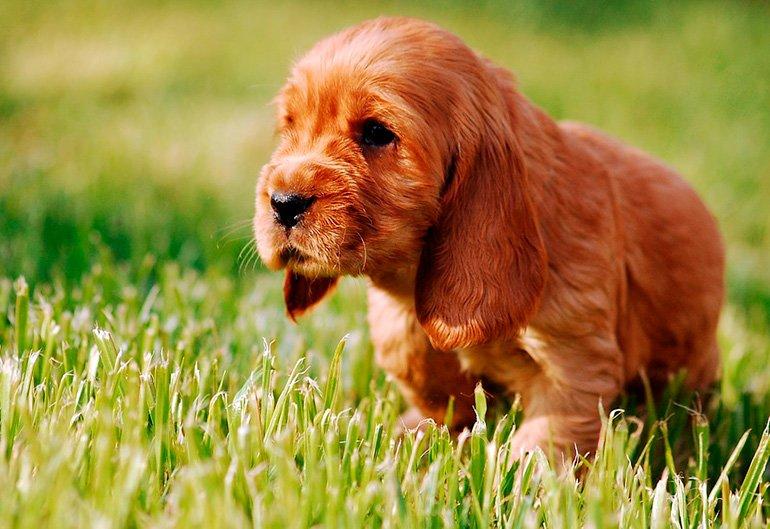 cachorro-de-Cocker-Spaniel-Inglés