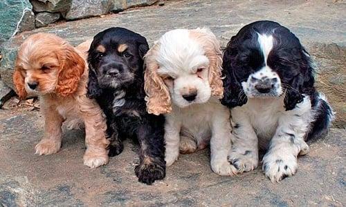 cachorros de colores de cocker Spaniel