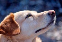 perro-con-acaros-del-a-sarna