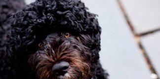 perro-de-gua-portugues