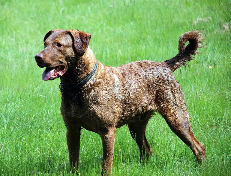 "chien-de-race-retriever-de-chesapeake ""width ="" 770 ""height ="" 589 ""srcset ="" https://soyunperro.com/wp-content/uploads/2014/07/perro-de-raza-Retriever -de-Chesapeake1.jpg 770w, https://soyunperro.com/wp-content/uploads/2014/07/perro-de-raza-Retriever-de-Chesapeake1-300x229.jpg 300w, https://soyunperro.com /wp-content/uploads/2014/07/perro-de-raza-Retriever-de-Chesapeake1-768x587.jpg 768w, https://soyunperro.com/wp-content/uploads/2014/07/perro-de- race-Retriever-de-Chesapeake1-80x60.jpg 80w, https://soyunperro.com/wp-content/uploads/2014/07/perro-de-raza-Retriever-de-Chesapeake1-696x532.jpg 696w, https: //soyunperro.com/wp-content/uploads/2014/07/perro-de-raza-Retriever-de-Chesapeake1-549x420.jpg 549w ""tailles ="" (largeur maximale: 770 pixels), 100vw, 770 pixels"