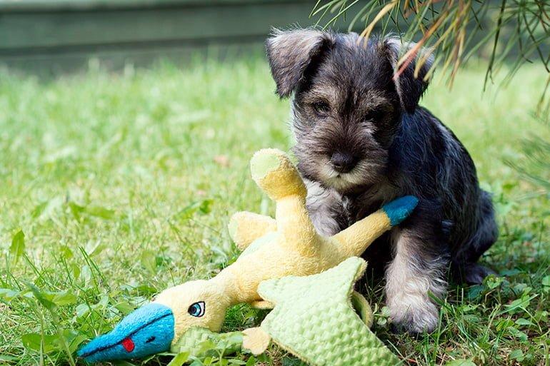 Schnauzer-miniatura-cachorro-junto-a-un-patito-de-juguete