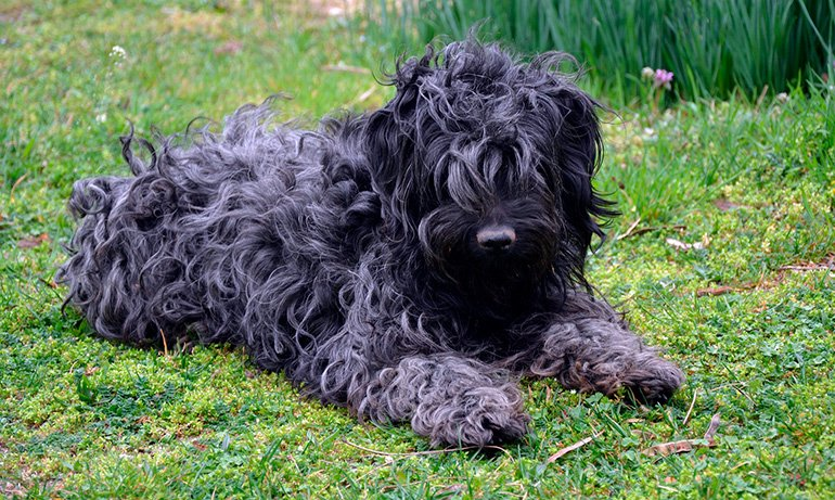 perro-de-raza-puli-con-el-pelo-negro