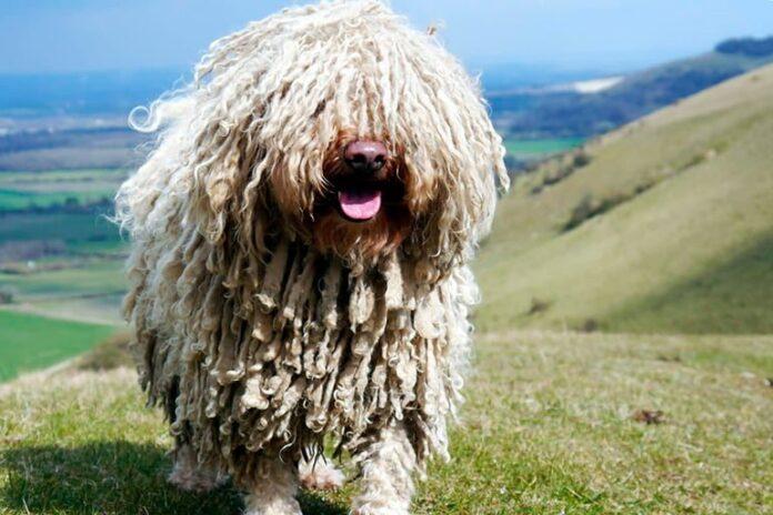 perro-puli-de-pelo-blanco-en-la-montaña