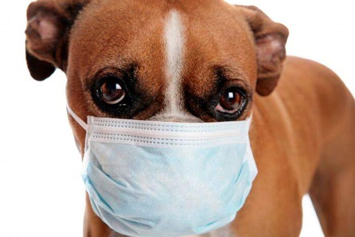 chien allergique