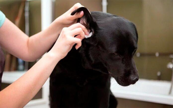 limpiando-el-oido-del-perro