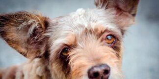 perro-diagnosticado-de-epilepsia-con-la-mirada-perdida