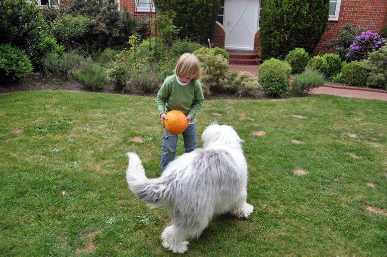 bobtail-jugando-con-un-niño