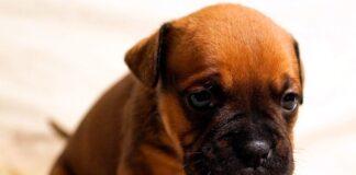 cachorro-de-boxer