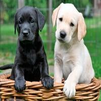labrador-cachorros