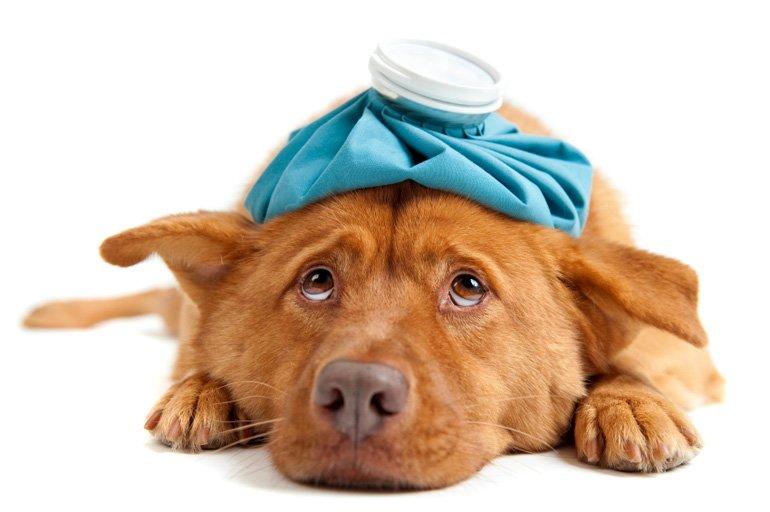 medicamento para bajar fiebre en perros