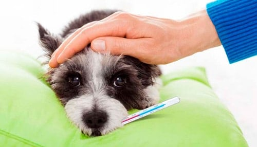 perro con fiebre alta