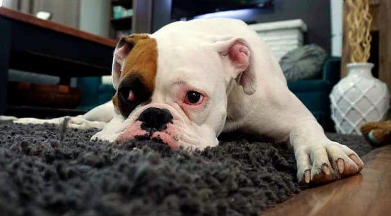 Remèdes à la maison pour éliminer les puces chez les chiens