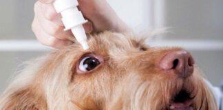 poner gotas en ojo de perro