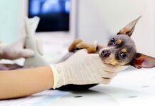 perro-preparado-para-una-ecografia