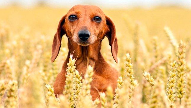 perro-en-campo-de-cereales
