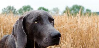 perro-en-un-campo-de-cereal-seco-con-espigas