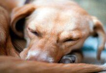 perro con alergia