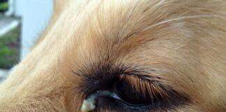 perro-con-legaña-verde