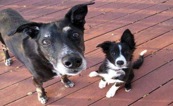 perro viejo y cachorro