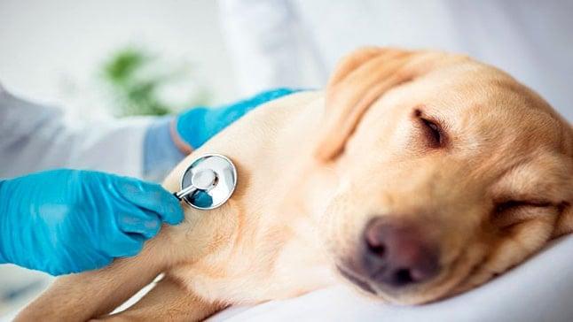 perro con sindrome de addison