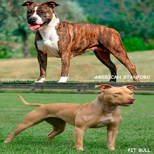 diferencias entre stanford y pit bull