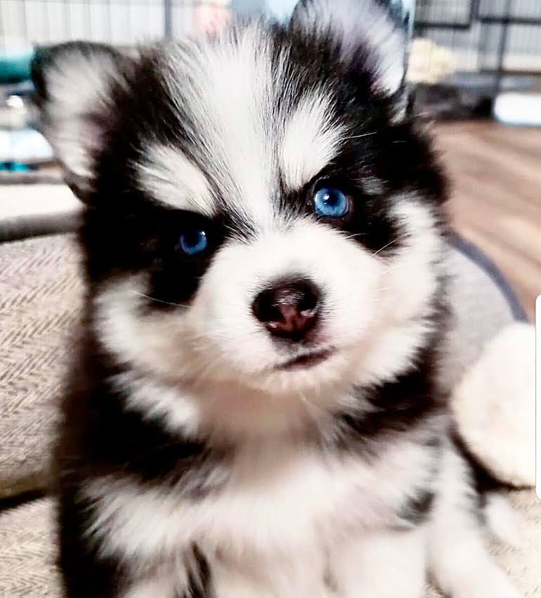 "puppy-of-dogs-pomsky ""width ="" 770 ""height ="" 851 ""srcset ="" https://soyunperro.com/wp-content/uploads/2017/04/cachorro-de-perros-pomsky2.jpg 770w, https://soyunperro.com/wp-content/uploads/2017/04/cachorro-de-perros-pomsky2-271x300.jpg 271w, https://soyunperro.com/wp-content/uploads/2017/04/cachorro -de-perros-pomsky2-768x849.jpg 768w, https://soyunperro.com/wp-content/uploads/2017/04/cachorro-de-perros-pomsky2-696x769.jpg 696w, https://soyunperro.com /wp-content/uploads/2017/04/cachorro-de-perros-pomsky2-380x420.jpg 380w ""tailles ="" (largeur max: 770px) 100vw, 770px"