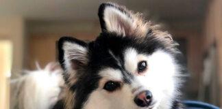 perro-pomsky