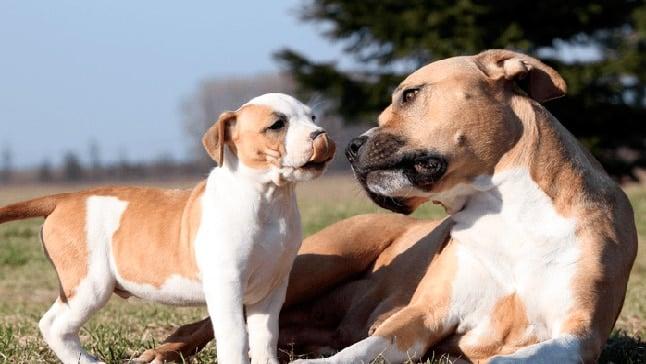 perro pitbull con cachorro
