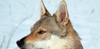 caracteristicas-del-perro-lobo-checoslovaco-tumbado