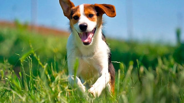 perro corre