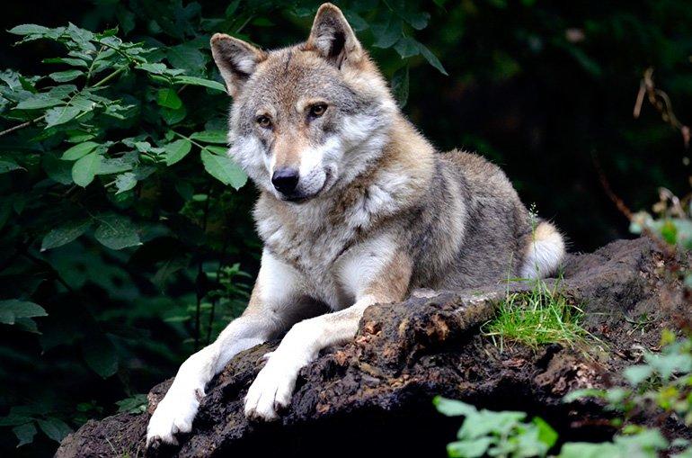 perro-lobo-checoslovaco-en-el-bosque