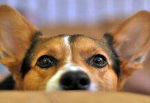 perro oreja levantada