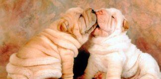 perros arrugados