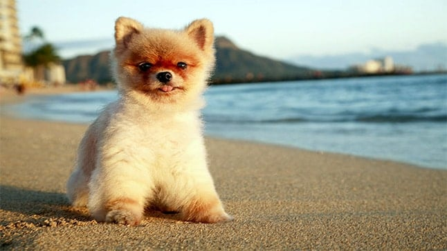 Pomerania toy blanco pelo corto