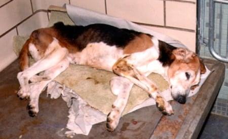 perro enfermo con leishmaniasis visceral
