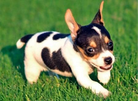 cachorro de bodeguero andaluz