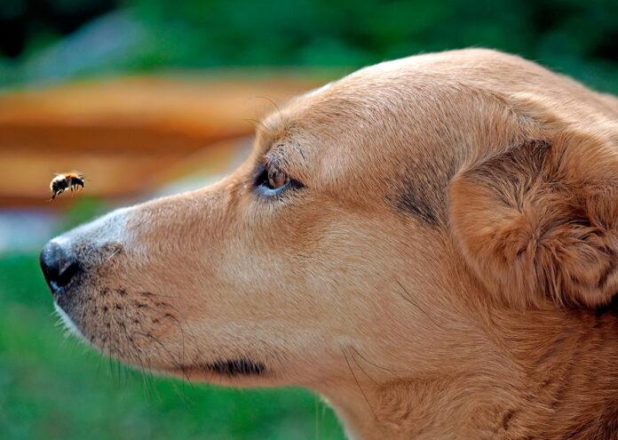 abeja-en-el-hocico-de-un-perro