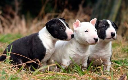 cachorros de bull terrier