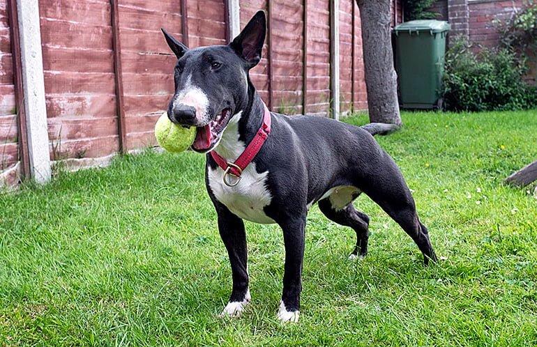 bull-terrier-jugando-con-la-pelota