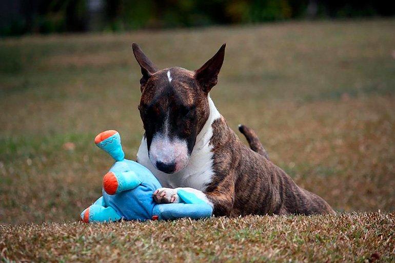 bull-terrier-jugando-con-un-peluche