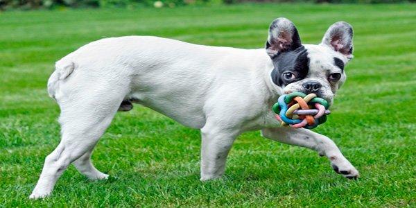 Bulldog Francés jugando con un juguete para perros